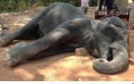 Elephant's sudden demise flashes call for ceasing untamed life tourism rides